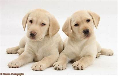 Labrador Puppies Yellow Retriever Puppy Weeks Lab