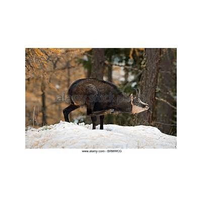 Goat Antelope Stock Photos & Images