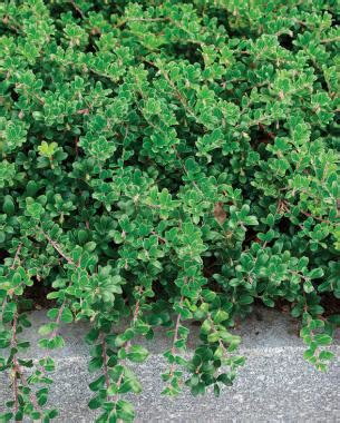 sun ground cover ground cover plants full sun www pixshark com images galleries with a bite