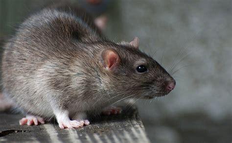 rat vs mouse mice vs rats
