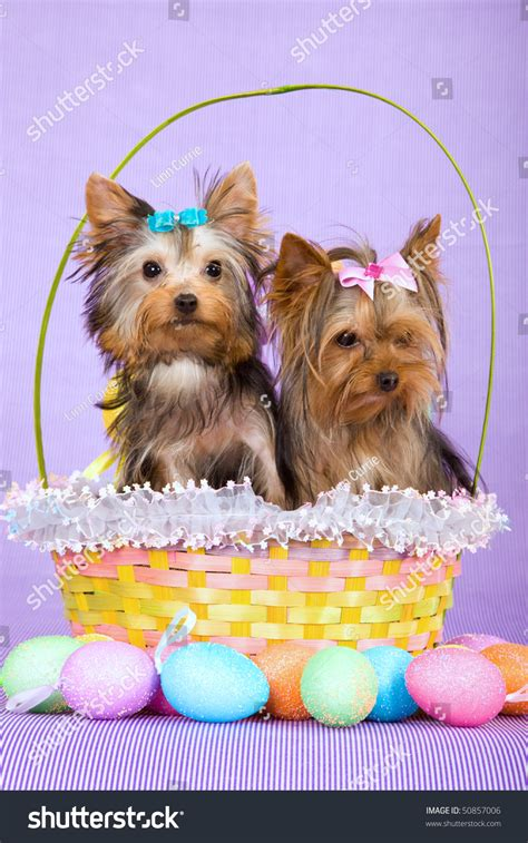 cute yorkie puppies easter basket easter stock photo