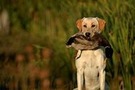 Ducks Unlimited Hunting Dogs