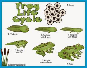Frog Cycle Activities | frog cycle colouring pages ...