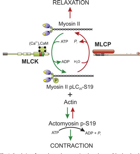 Myosin Light Chain Kinase by Figure 1 From Of Myosin Light Chain Kinase And Myosin