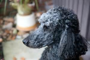 Different Toy Poodle Haircuts