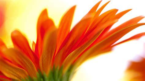 Orange Wallpaper Flower by Orange Flower Backgrounds Hd Desktop Wallpapers 4k Hd