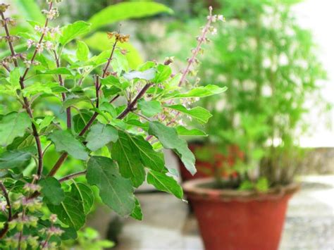 planting flowers in how to grow tulsi plant care and growing holy basil