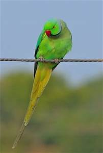 1000+ images about Indian Ringneck on Pinterest | Indian ...