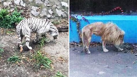 Gaunt Lion And Tiger At Beijing Zoo Not Neglected, Just