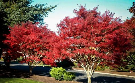 ribbon leaf japanese maple trees  sale  tree center