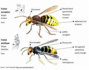Comment Repérer Un Nid De Frelon : cqu presse frelon l 39 api d 39 amon nos tes formation ~ Melissatoandfro.com Idées de Décoration