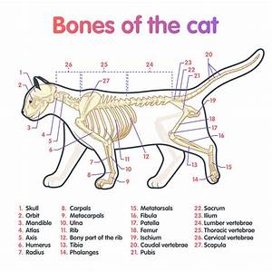 Cat Anatomy