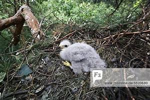Alter In Wochen Berechnen : berlin deutschland drei wochen alter beringter jungvogel im nest in etwa 14 meter h he europa ~ Themetempest.com Abrechnung