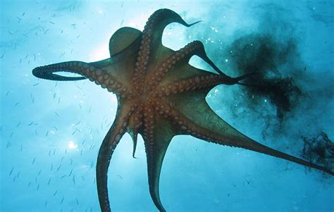 octopus facts for national geographic 593 | Octopus facts 2