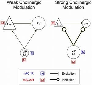 A Model Circuit Of Cholinergic Modulation Of Cortical