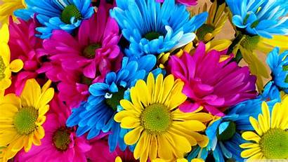 Colorful Daisies Uhd 4k Wallpapers Background Ultra