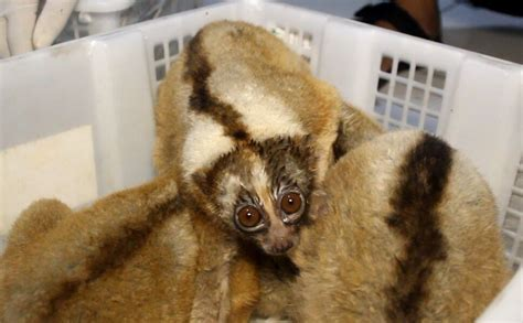slow lorises rescued javan endangered rescue loris critically traders indonesia majalengka animal international invade terrified locked species boxes police credit