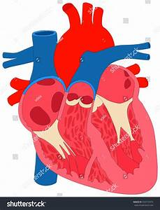 Unlabeled Diagram Of The Heart