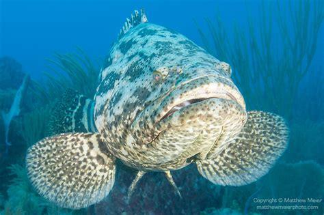 grouper goliath cuba fish reef coral swimming gardens queen
