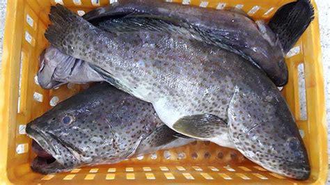 grouper frozen fillet
