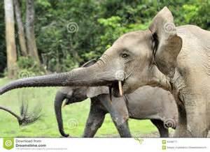 Loxodonta Cyclotis African Forest Elephant