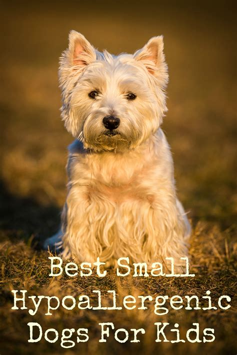 List Of Dogs That Shed Very Little by Small Hypoallergenic Dogs For Kids Dog Vills