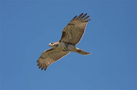 raptors birds of prey english raven birding adventures