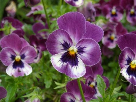 sorbet violas viola sorbet raspberry f1 the edible flower shop grow your own edible flowers