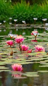 Pond, With, Beautiful, Pink, Lotus, Flowers, 4k, 5k, Hd, Flowers