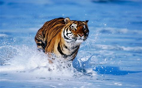 bengal tiger wallpaper tigers animals wallpapers  jpg