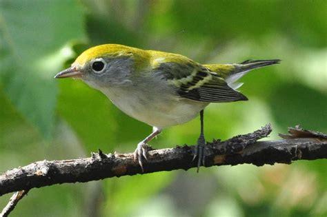 birds of minnesota related keywords birds of minnesota
