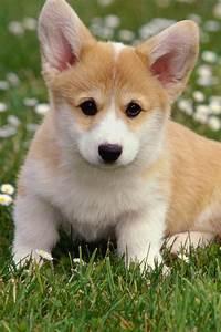 Cute Corgi Puppy! | Corgis | Pinterest