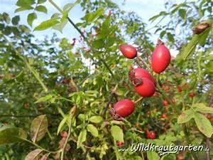 Exotische Früchte Im Eigenen Garten : vitamin a wildkraut garten ~ Lizthompson.info Haus und Dekorationen