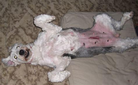 neuter   female dog goldenacresdogscom