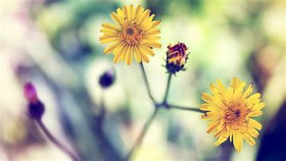 Yellow Spring Daisy Wallpapers