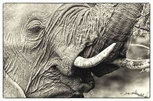 Remember the Elephants - Conservation Action Trust