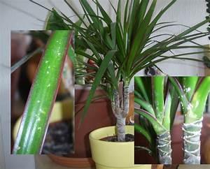 Des points blancs sur mon dracaena maginata au jardin for Attractive photo jardin avec palmier 12 des points blancs sur mon dracaena maginata au jardin