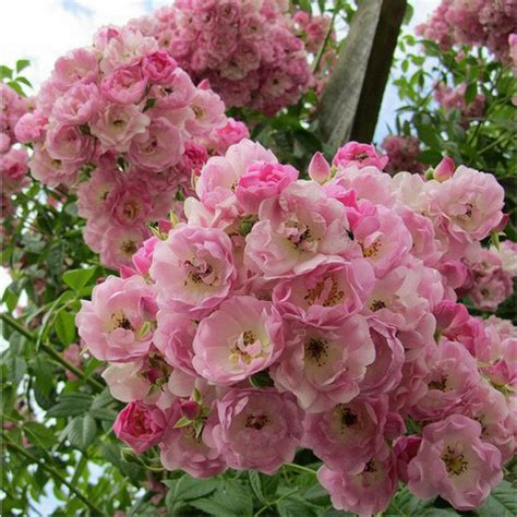 32 Best Images About Climbing Roses On Pinterest