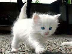 love cats  - Babies Pets and Animals Photo  17236053  - Fanpop  White Baby Cat With Blue Eyes