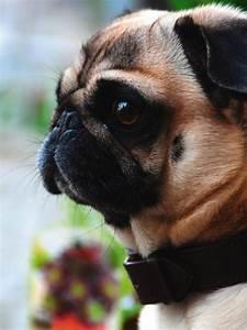 Keilrahmen Kaufen Baumarkt : artland poster leinwandbild mops tiere haustiere hund foto online kaufen otto ~ Orissabook.com Haus und Dekorationen