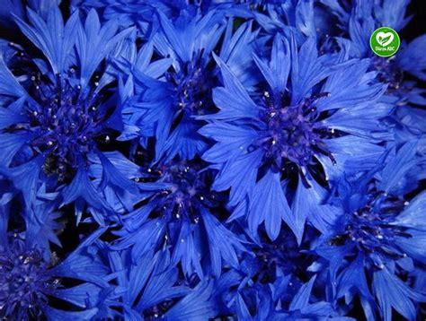 Dārza ABC - Rudzupuķes - vasaras puķes