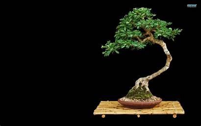 Bonsai Wallpapers Tree Desktop Backgrounds Plants Bonzai