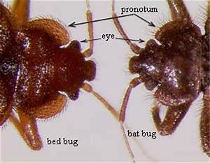 bat bugs With bed bug scientific name
