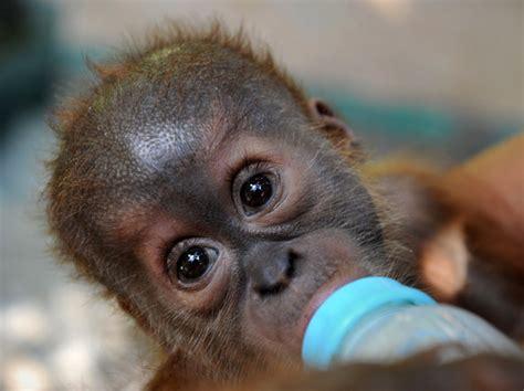 cuisine maman 60 photos de singes certains plus mignons que d 39 autres