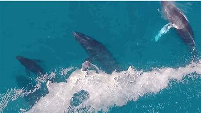 Whales Swimming Whale Drone Brain Stunning Social