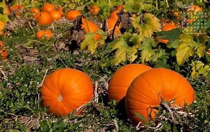 Pumpkins Pumpkin Fall Wallpapers Desktop Patch October