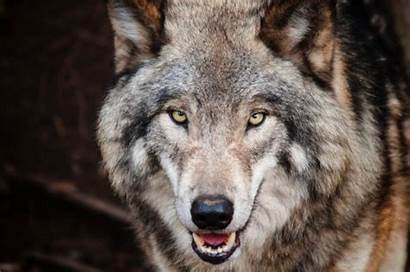 Wolf Nature Pbs Wolves Arctic Fact Sheet
