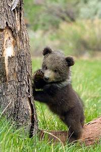 132 best Grizzly Bears images on Pinterest