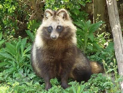 Tanuki Animal Wiki Jam Fanon God