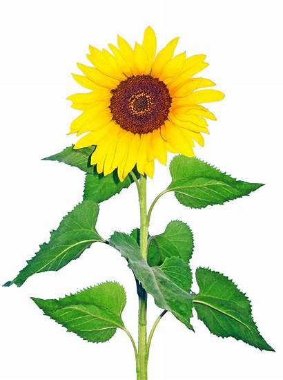 Flowers Cut Flower Plants Sunflowers Growing Market